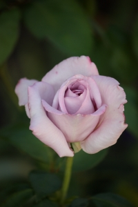 One of our many roses. This one is Blue Moon