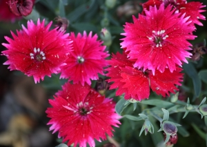 Dianthus - we also have white ones in the garden