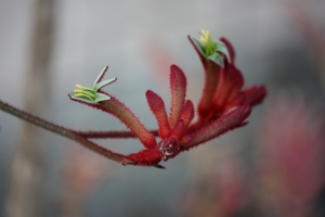 A different variety of Kangaroo Paw