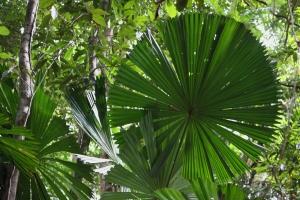 Fan palm in the Daintree Rainforest